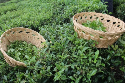 2,5 Yapraklı Organik Yeşil Çaya Avrupa'dan Ödül