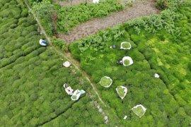 2020 Yılı Yaş Çay Sezonu Başladı