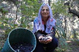 Türkiye'nin Kuzeydoğusu Artvin'de Zeytin Hasadı