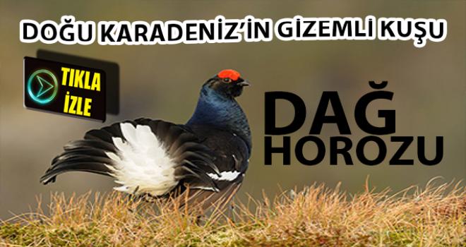 Türkiye'de Sadece Rize'de Görülen Dağ Horuzu