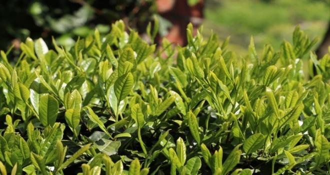 Rize'de Çay Üreticisi Ne Yapacağını Şaşırdı