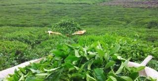 CHP, TBMM' de çay için Araştırma Önergesi Verdi